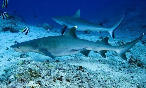 squali pinna bianca