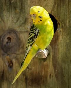 pappagallini