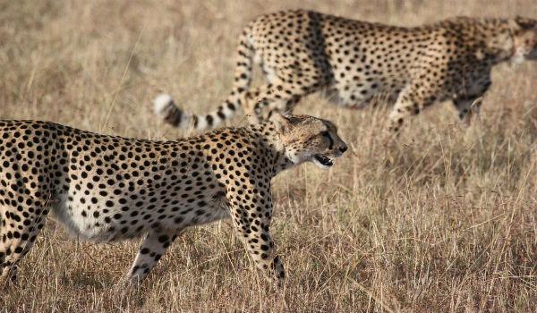zambia felini