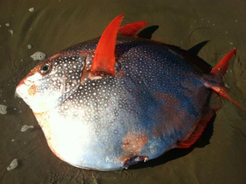 opah pesce a sangue caldo