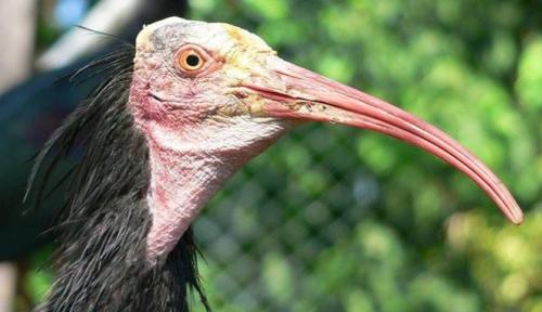 palmira ibis