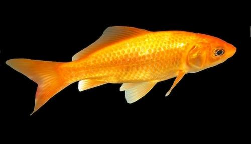 Anche i pesciolini rossi si operano dailygreen for Immagini pesciolini