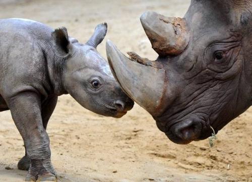 Sud Africa, rinoceronti a rischio
