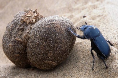 scarabeo stercorario