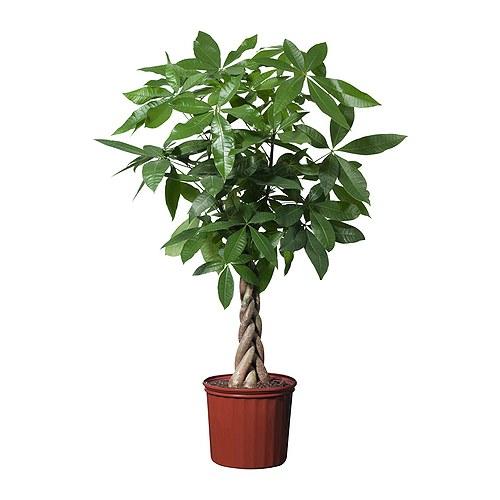 Tre piante che portano soldi amore salute - Pachira pianta ...