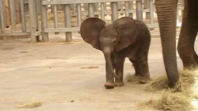 elefante inseminazione artificiale