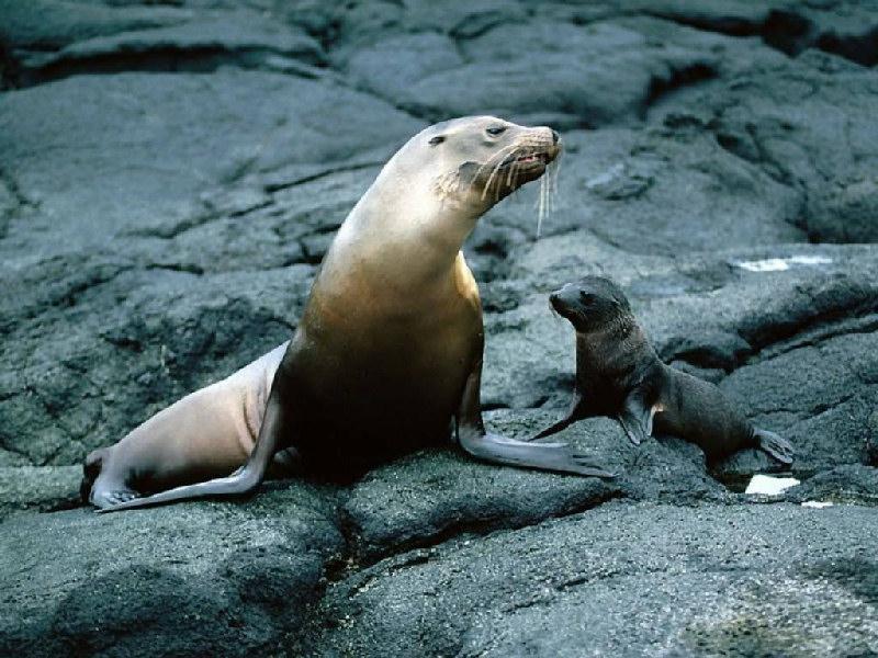 foche monache
