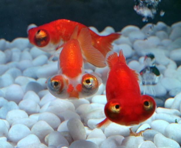 pesciolini e il complesso di napoleone