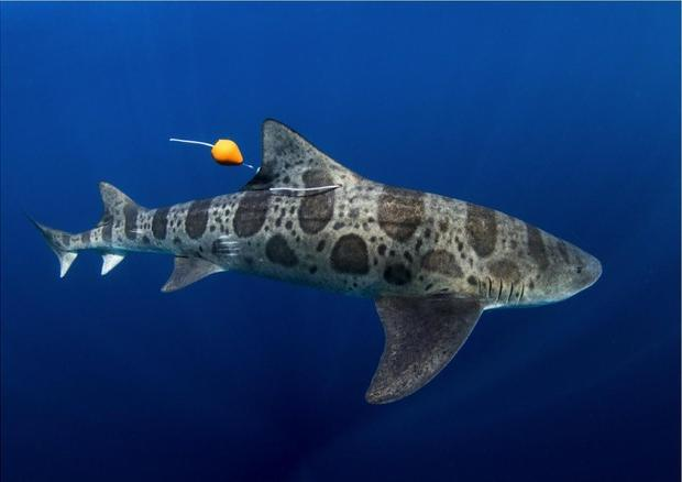 squalo leopardo