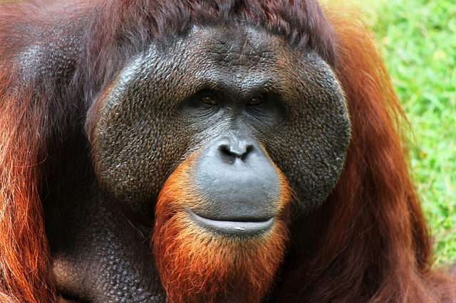 Borneo oranghi
