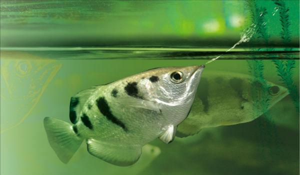 pesci arciere