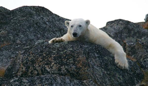 polo nord orsi