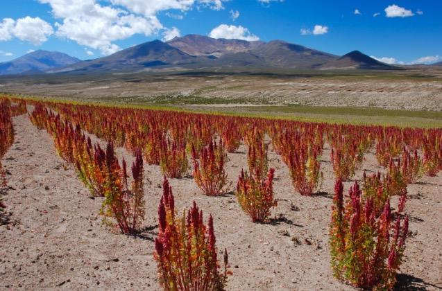 quinoa coltivazione pianta