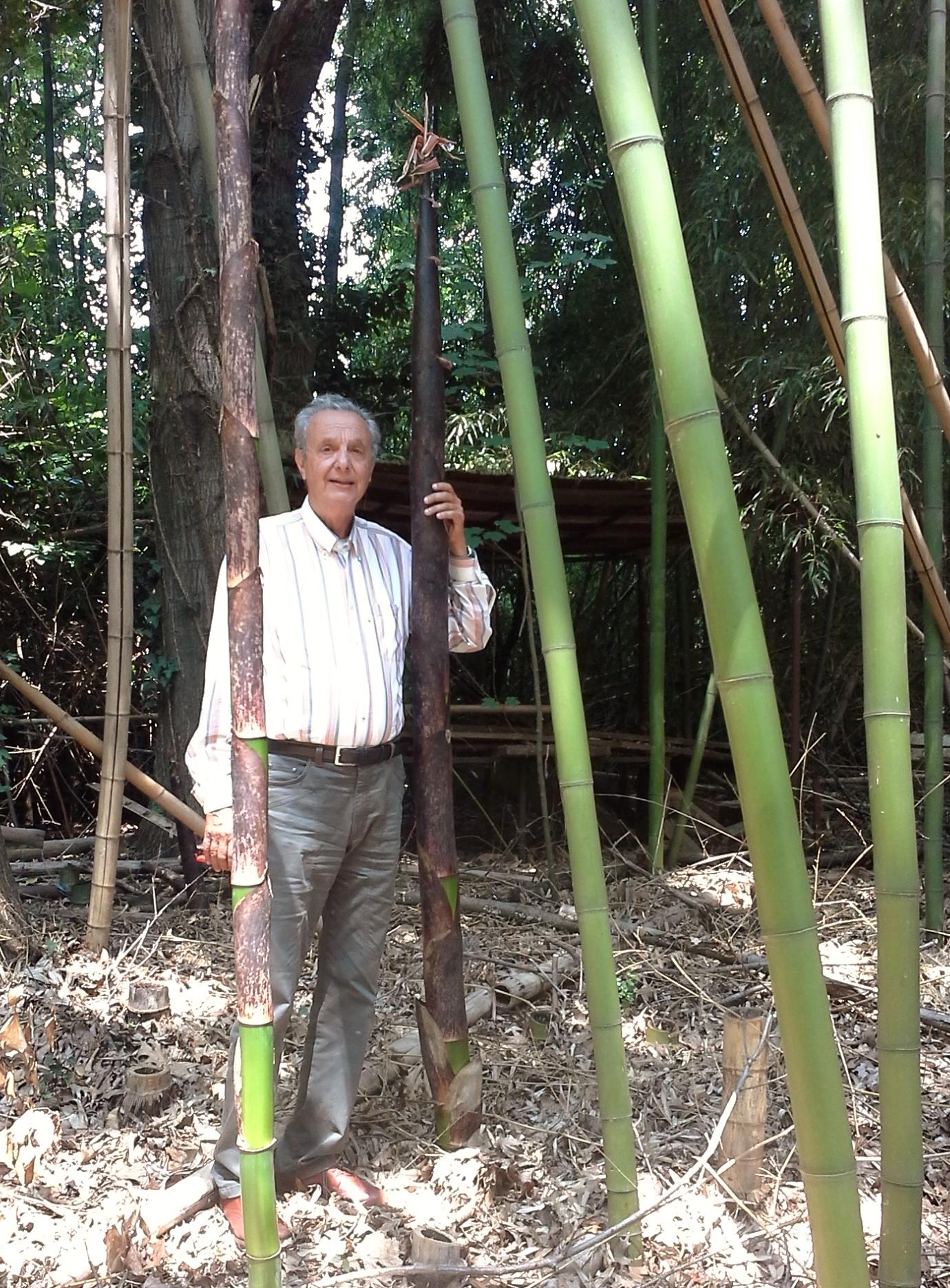 Come coltivare il bamb gigante una guida completa for Semi bambu gigante