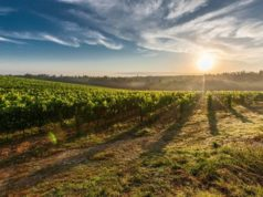 Vino biologico, Italia leader