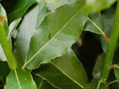 L'alloro, una pianta nobile