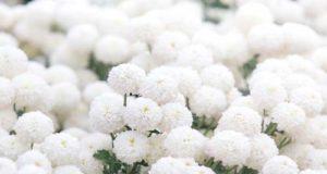 Crisantemi, perché sono il fiore dei morti