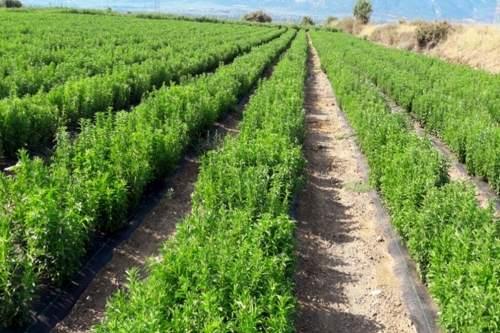 Stevia made in Italy