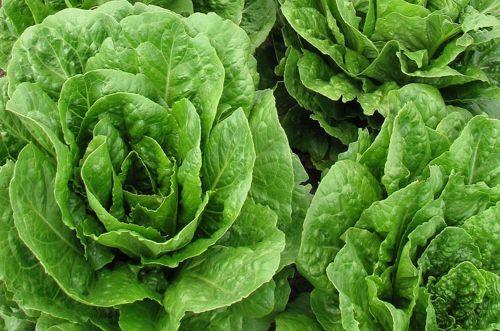La lattuga, proprietà e consigli