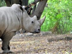 Rinoceronti al Bioparco