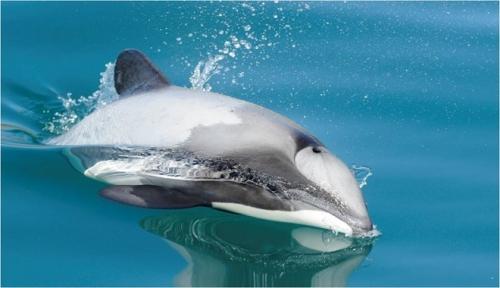 delfini del maui