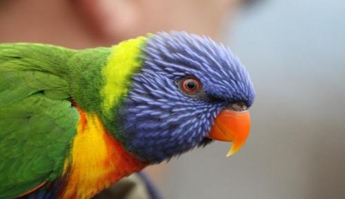 pappagallino tasmania