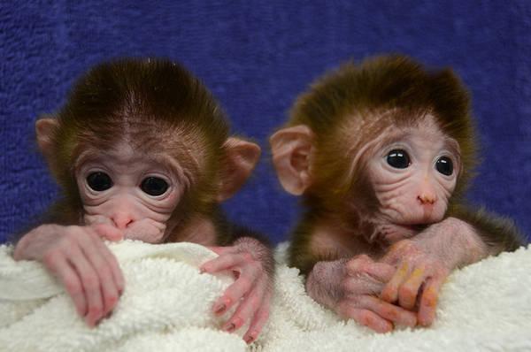scimmie chimera