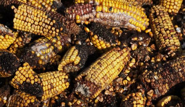 cambiamento climatico cibo tossico