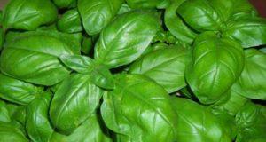 Basilico, una pianta regale