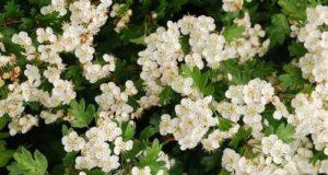 Biancospino, un potente antiossidante