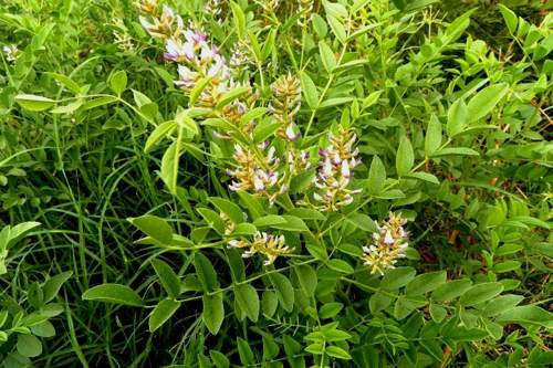 Liquirizia, una pianta dai mille benefici