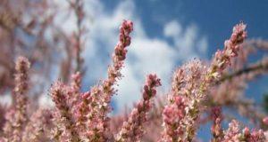Tamerici, la pianta di Giuda