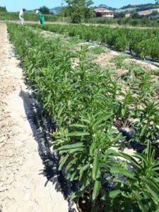 stevia coltivazione