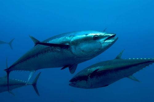 Tutti i benefici del pesce azzzurro