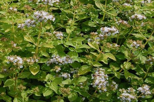 L'origano, l'erba aromatica che cura