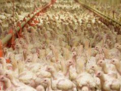 Polli in allevamento