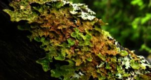 Lichene polmonario